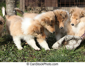 Group of Scotch Collie puppies playing outside - Group of...