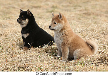Two puppies of Shiba inu together in nature