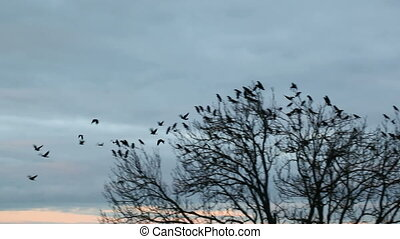 crows - A flock of crows in a tree