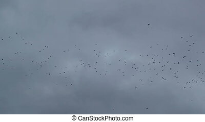 crows - A flock of crows circling in the sky