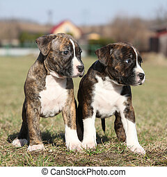 Two nice little puppies of American Staffordshire Terrier...