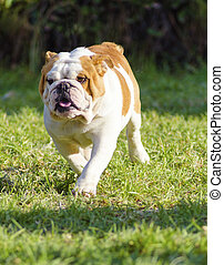 English Bulldog - A small, young, beautiful, brown and white...