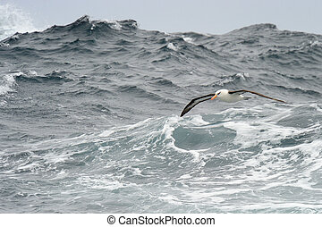 Black-browed Albatross flying over waves.