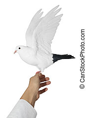 white  dove - white dave to sit on a hand of man