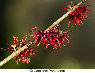 Red Witch Hazel Flowers in winter