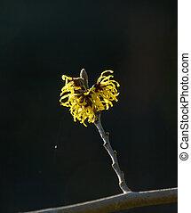 Yellow Witch Hazel Flowers - Yellow Witch Hazel flowers in...