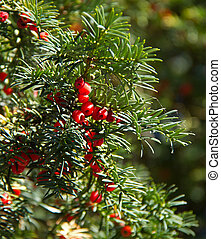 Yew Tree and Berries - Poisonous Yew tree with red berries...