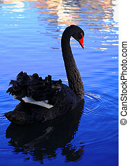 Black Swan - The Black Swan (Cygnus atratus) is a large...