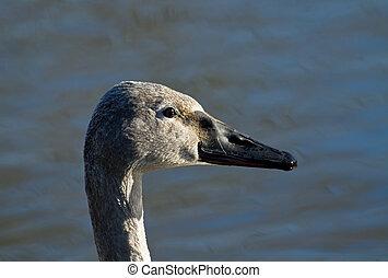 Trumpeter Swan Cygnet - Head shot of Trumpeter Swan cygnet