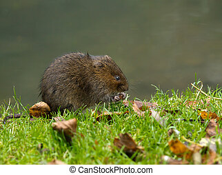 Water Vole Eating - Water Vole eating grass shoot on river...