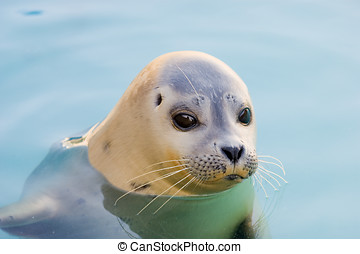 Harbour Seal - Rescued Harbour Seal or common seal (Phoca...