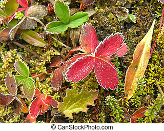 Frosted strawberry leaves, Yoho National Park, Canada -...