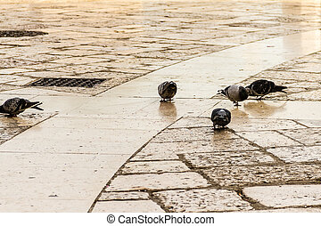 Pigeons - some pigeons strolling on the pavement of a plaza