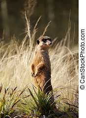 meerkat - Alert meerkat standing upright in anticipation of...