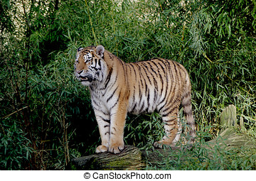 tiger - Tiger has a position of King in its environment of...