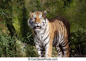 tiger - powerful this tiger to a piercing eyes and mouth...