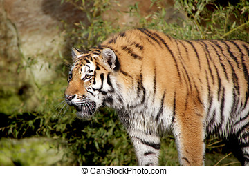 tiger - something hold the attention of this adult Tiger