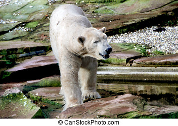 bear - polar bear walking on rocks of color