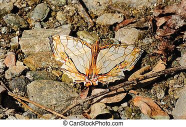 Cyrestis thyodamas butterfly, Sikkim, India - Cyrestis...