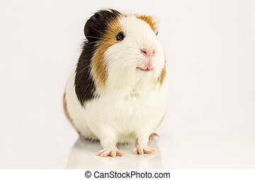 Happy Guinea pig - Guinea pig smiles , sitting on a white...