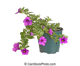 Potted seedling of a Calibrachoa isolated against white -...