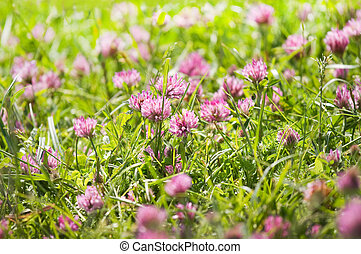 Red clover flowers on a field in summer - Red clover or...