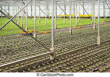 Planting new young salad plants in glasshouse - Working on...