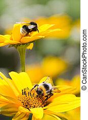 bumble, abelhas, girassóis, verão