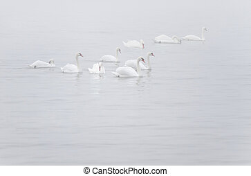 White Mute Swans in the myst - White Mute Swans or Cygnus...