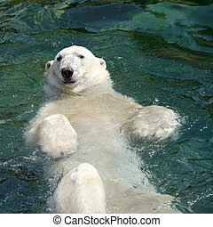 Polar bear Ursus maritimus swimming in the water - The polar...