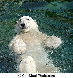 polarny, Niedźwiedź, (Ursus, maritimus), Pływacki, woda