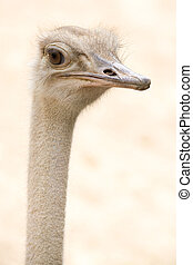 African Common Ostrich Head Shot (Struthio camelus) - The...