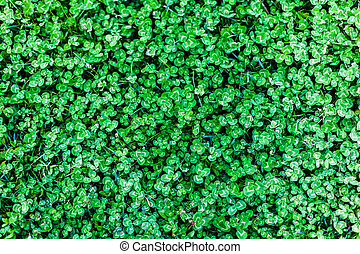 Clover field - detail of a clover field: a good background...