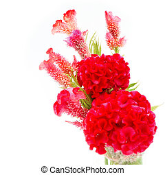 Cockscomb - Red flower, Cockscomb or Chinese Wool Flower...