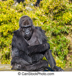 Western lowland gorilla (Gorilla gorilla gorilla) lives in...