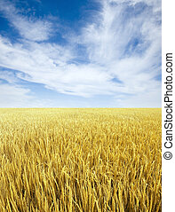 wheat field - Golden wheat field and sky