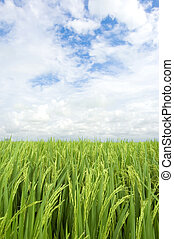 paddy rice field - Landscape of paddy rice field, clouds and...