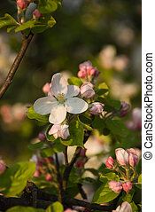 Apple tree blossom with few little flowers in front of image