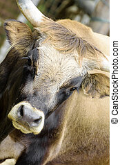 The primitive ox aurochs became extinct around 1600, but in...