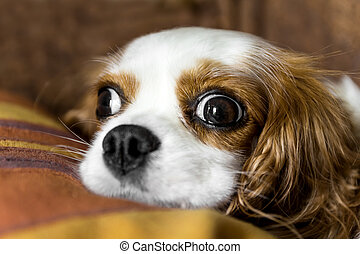 The cavalier king - The sweetest dog Cavalier King. A...