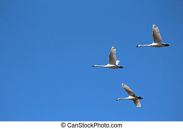 Trumpeter Swans flying over clear blue sky - Three trumpeter...