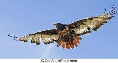 Jackal Buzzard flying low