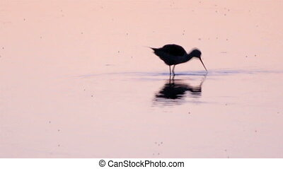 Himantopus himantopus - Black-winged Stilt, Common Stilt, or...