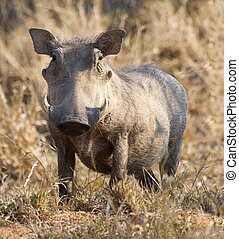 Fat warthog standing in dry grass