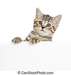 Scottish british cat kitten behind banner