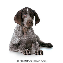 german shorthaired pointer puppy laying down isolated on...
