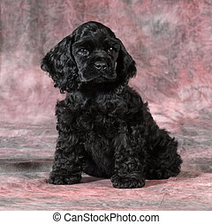 cocker spaniel puppy sitting looking at view on pink tones...
