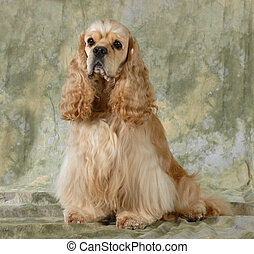 cocker spaniel sitting on green background
