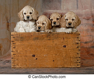 litter of puppies - litter of cocker spaniel puppies in a...