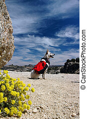 Backpacking Dog - Dog, Red Heeler Cattle Dog with red...